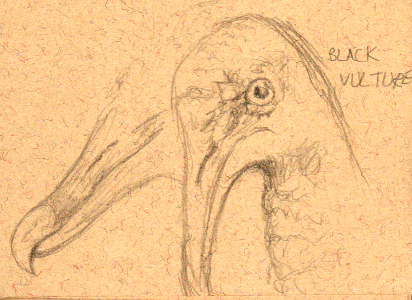 Black Vulture Sketch