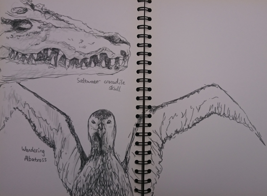 Sketches of a crocodile skull and stuffed albatross