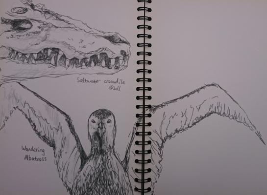Sketches of a crocodile skull and stuffed albatross