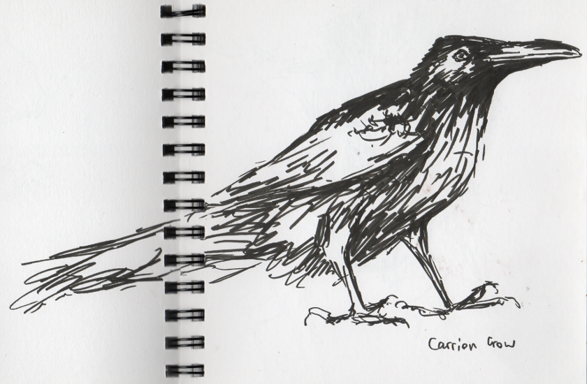 Carrion Crow Sketch